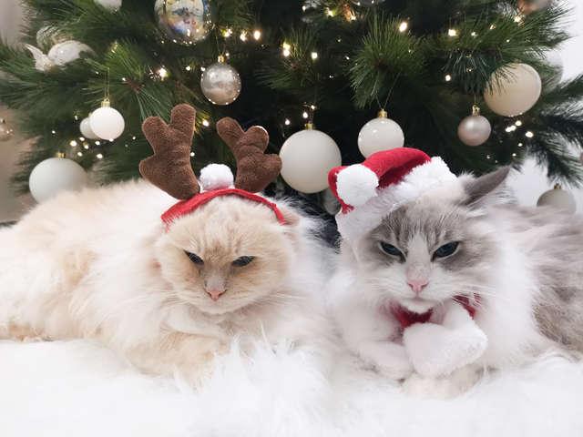 """แมวของเพื่อนๆ จะไม่รื้อ """"ต้นคริสต์มาส"""" และข้าวของจนกระจุยอีกต่อไป ถ้าใช้เทคนิคนี้..."""